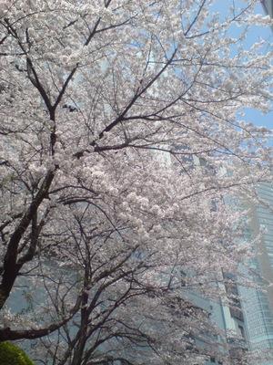 2009sakura_2